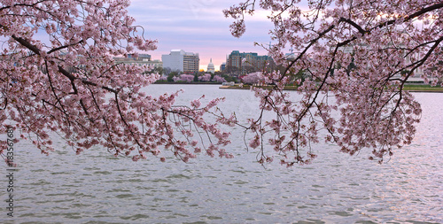 Fotobehang Kersen US capital panorama framed by blooming flowers of cherry trees. Sunrise during cherry blossom near Tidal Basin with a view on US Capitol building in Washington DC.