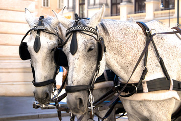 Two beautiful nice grey horses standing on a city Vienna.
