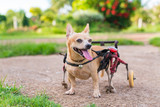 Cute little dog in wheelchair or cart walking in grass field..