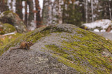 Chipmunk on a large stone overgrown with moss in the autumn evening - 183570667