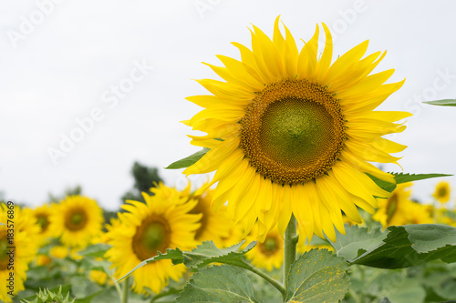 Fototapeta Close up Sunflower with White Sky Background. Sunflower Garden.