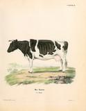Illustration of cows