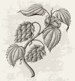 Hops vintage drawing by ink isolated on vintage background - 183578439