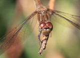 Close up on the face of a female Common Darter (Sympetrum striolatum), Cornwall, England, UK. - 183582039
