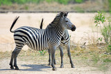 Two Chapmans Zebras (Equus quagga Chapmani) standng looking alert on the Plains in South Luangwa National Park, Zambia - 183584476
