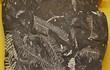 シダ植物の化石