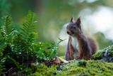 écureuil forêt de Fontainebleau - 183590892
