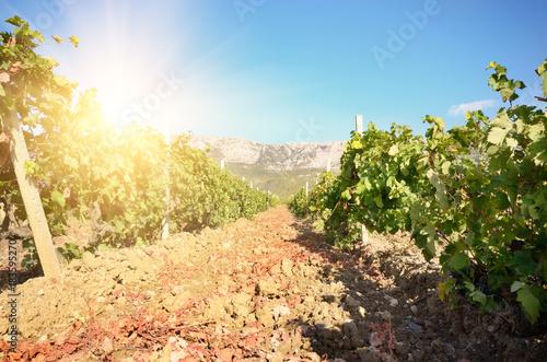 Plexiglas Wijngaard Green vineyards in Crimea Ukraine with mountains at background