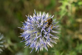 A close up of a bee with her pollen basket full On a flower Jasione montana - 183598454