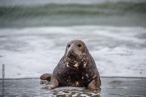 Common seal (Phoca vitulina) sideview of one animal looking curious in camera wh Poster