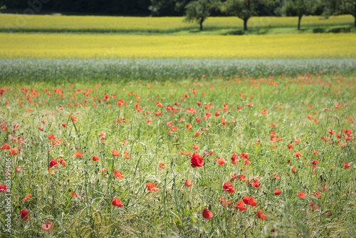 Fotobehang Klaprozen Poppies , Rape field and Wheat field in Springtime