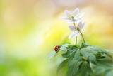 Beautiful white forest flowers anemones and ladybug in sunlight on yellow and green background, template with space for text.  Elegant exquisite tender artistic image of spring nature macro. - 183599603