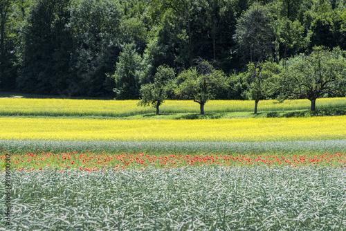 Plexiglas Olijf Poppies , Rape field and Wheat field in Springtime
