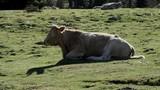 herd of cows resting in the alpines  pastures - 183601078