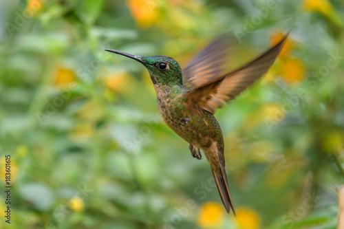 Hummingbird (Trochilidae) Latające klejnoty górskie jasne zwierzę z Panamy. Szczegół portret.