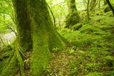 大船黒岳風景林の苔むした木 - 183609684
