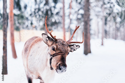 Reindeer at farm of winter Lapland Rovaniemi Northern Finland