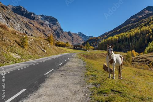 Plexiglas Paarden Pferde am Straßenrand in den Schweizer Alpen