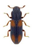 Beetle Bitoma crenata on a white background