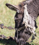 Portrait of a donkey on the nature autumn - 183639445