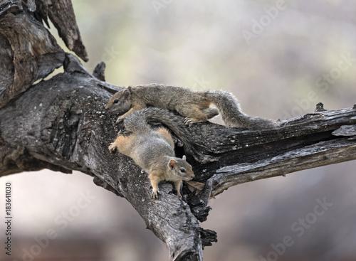 Fototapeta Two tree squirrel (Paraxerus cepapi) in a tree, Namibia
