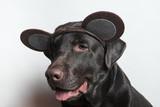 Funny dog. Festive image. Labrador. White background - 183645419