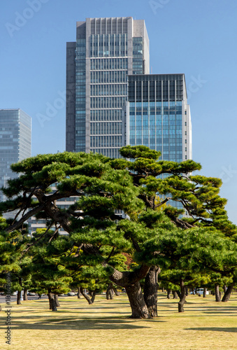 Aluminium Tokio Pine trees on background of modern office buildings in Park, Tokyo, Japan.Autumn in a garden in the center of Tokyo