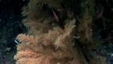 Marine plants underwater on seabed in Galapagos. Relax video. Marine life in ocean. - 183661633