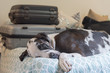 Travel fatigue, sleeping great dane pet dog on bed with luggage