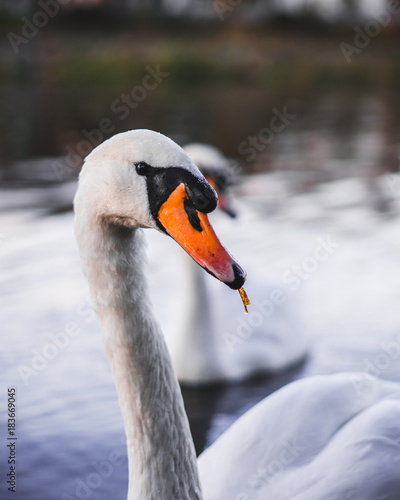 Plexiglas Zwaan Beautiful swan on the river