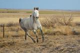 Dapple Gray Horse Running in a Field - 183676082