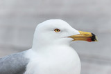 close up of a white seagull - 183676682