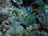 Suppenschildkröte (Chelonia mydas), Grüne Meeresschildkröte - 183683014