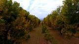 Aerial flying in between rows of trees in Autumn - 183684612