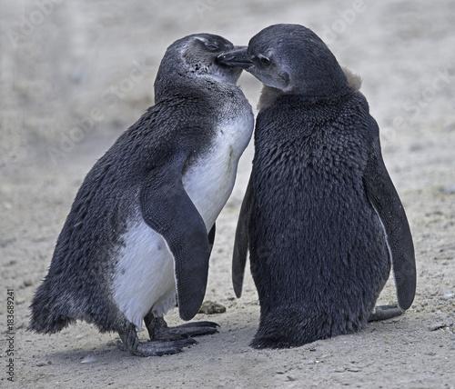 Plexiglas Pinguin Penguins in Love
