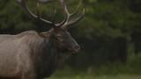 Bull Elk in NC Mountains - 183690402