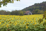 A field of Golden sunflowers frame an old tobacco barn.