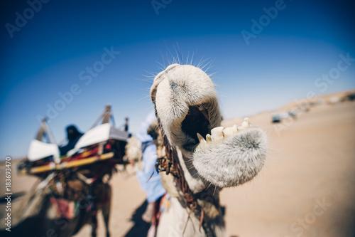Fotobehang Marokko Camel shows his teeth. Argelia