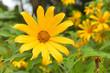 Beautiful yellow cosmos flowers in the garden