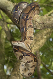 Emperor boa (Boa constrictor imperator) on a tree - 183702062