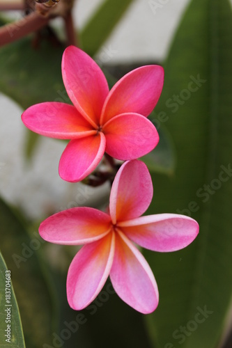 Aluminium Plumeria Two bright pink and orange plumeria flowers