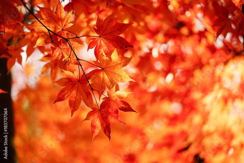 Foto op Plexiglas Oranje eclat 紅葉