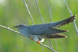 Common Cuckoo (Cuculus canorus) on a reed, in Danube Delta - 183712433