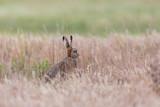 european brown hare jackrabbit (lepus europaeus) hidden in toasted grassland - 183714631