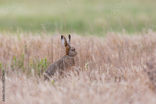 european brown hare jackrabbit (lepus europaeus) hidden in toasted grassland Poster