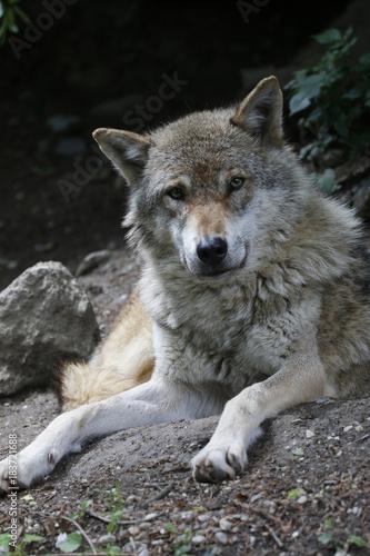 Plexiglas Wolf Wolf liegt am Boden, Canis lupus