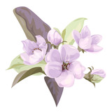 Spring blossom (bloom), branch with mauve apple tree flowers. Bouquet light floret, buds, green leaves on white background. Digital draw illustration in watercolor style, concept for design, vector - 183723647
