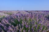 Lavender field near Poruchik Chuchevo village in Bulgaria - 183743287