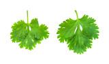 coriander on white - 183750608