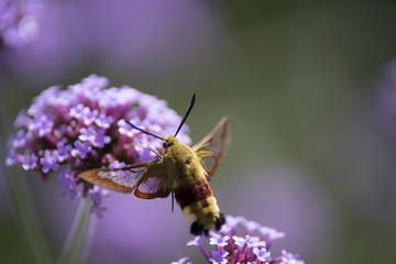 Moro Sphinx ou Papillon Colibri sur un Buddleia